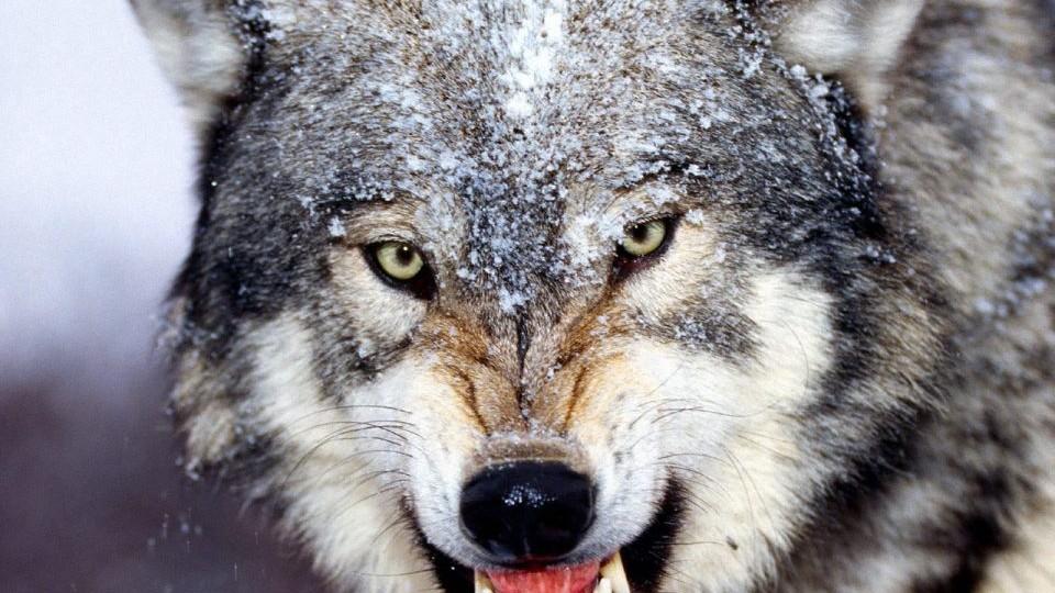 ВЧерниговской области волчица напала налюдей, есть пострадавшие